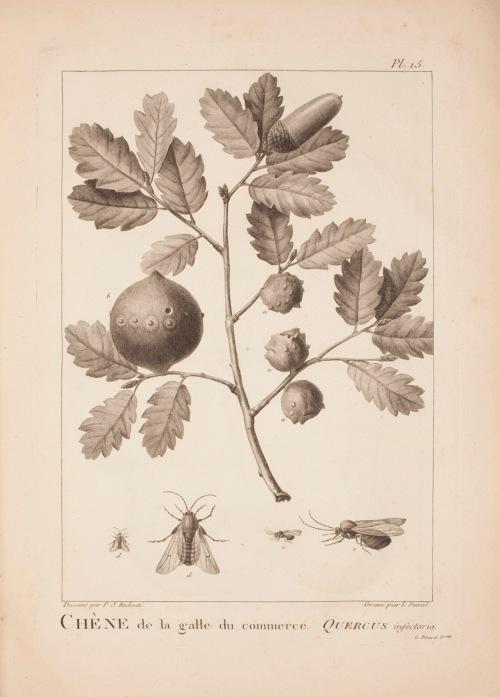 """""""Quercus infectoria"""""""
